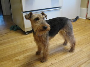 Taffy, our Welsh Terrier