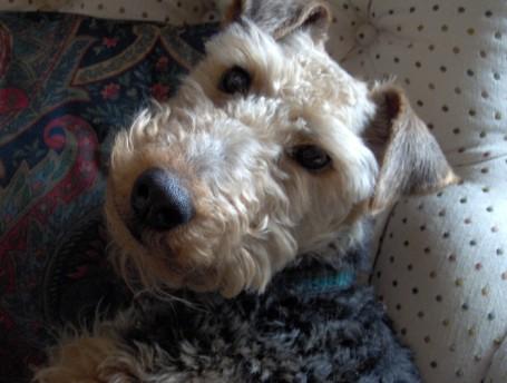 Our beloved Welsh Terrier Taffy