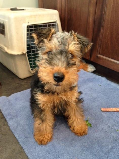 Meet Tessa , our Welsh Terrier at 3 1/2 months old.