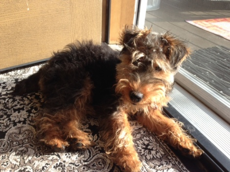 This is Tessa, our Welsh Terrier puppy before her haircut.