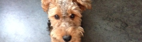 Our Welsh Terrier, Tessa