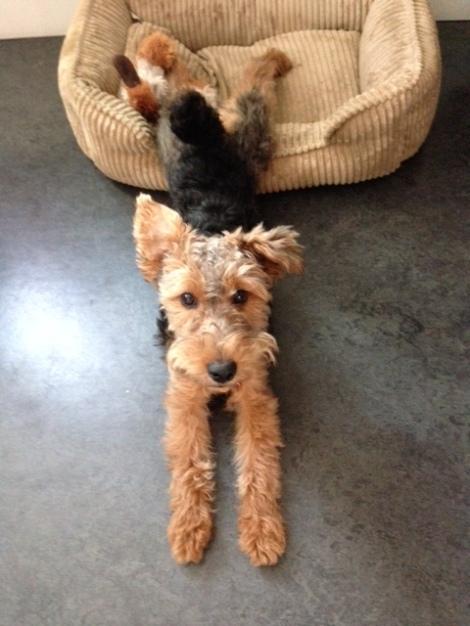 Our Welsh Terrier, Tessa